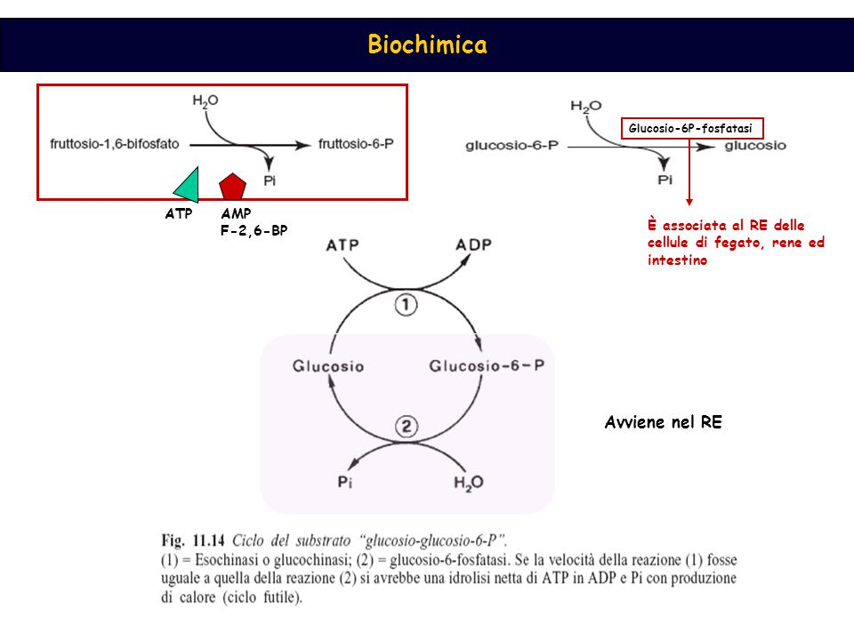 Avviene nel RE ATP AMP F-2,6-BP