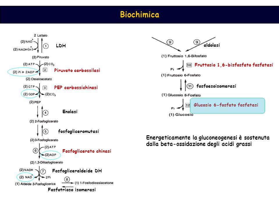 LDH aldolasi. Fruttosio 1,6-bisfosfato fosfatasi. Piruvato carbossilasi. PEP carbossichinasi. fosfoesoisomerasi.