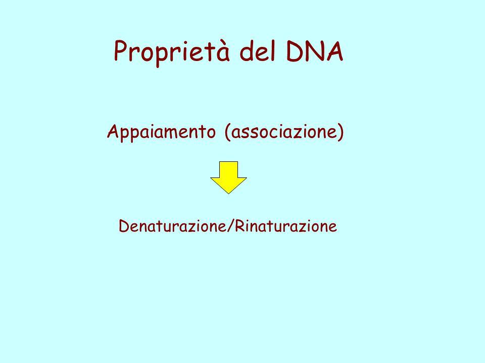 Proprietà del DNA Appaiamento (associazione)