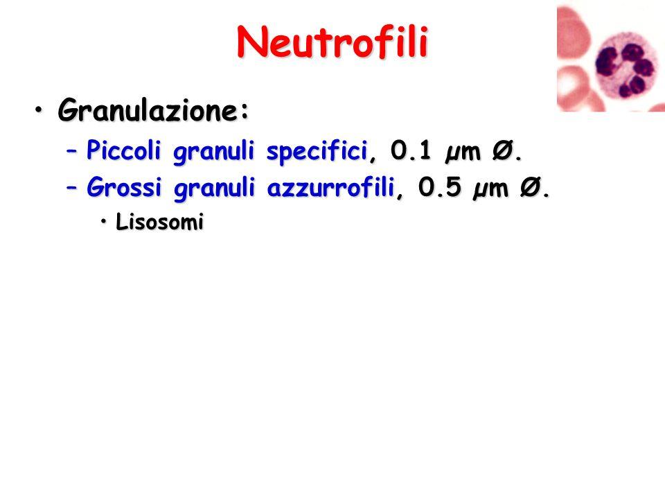 Neutrofili Granulazione: Piccoli granuli specifici, 0.1 µm Ø.