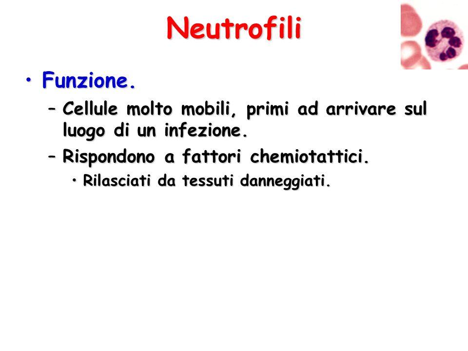 Neutrofili Funzione. Cellule molto mobili, primi ad arrivare sul luogo di un infezione. Rispondono a fattori chemiotattici.