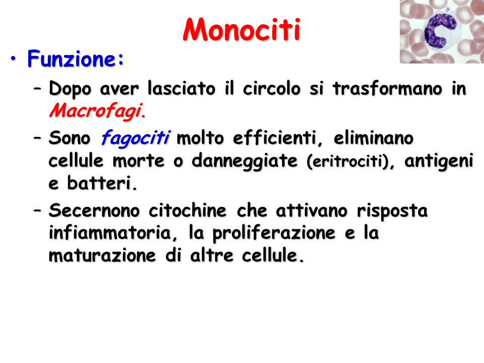 Monociti Funzione: Dopo aver lasciato il circolo si trasformano in Macrofagi.