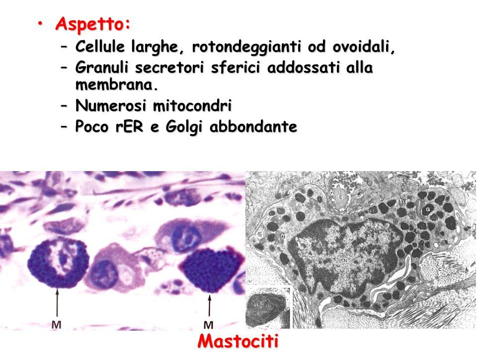 Aspetto: Mastociti Cellule larghe, rotondeggianti od ovoidali,