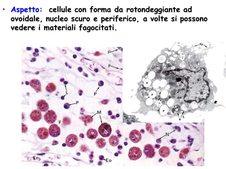 Aspetto: cellule con forma da rotondeggiante ad ovoidale, nucleo scuro e periferico, a volte si possono vedere i materiali fagocitati.