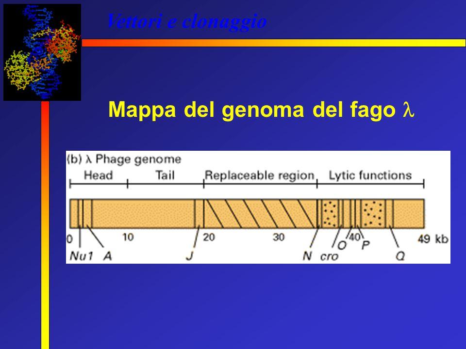 Mappa del genoma del fago 