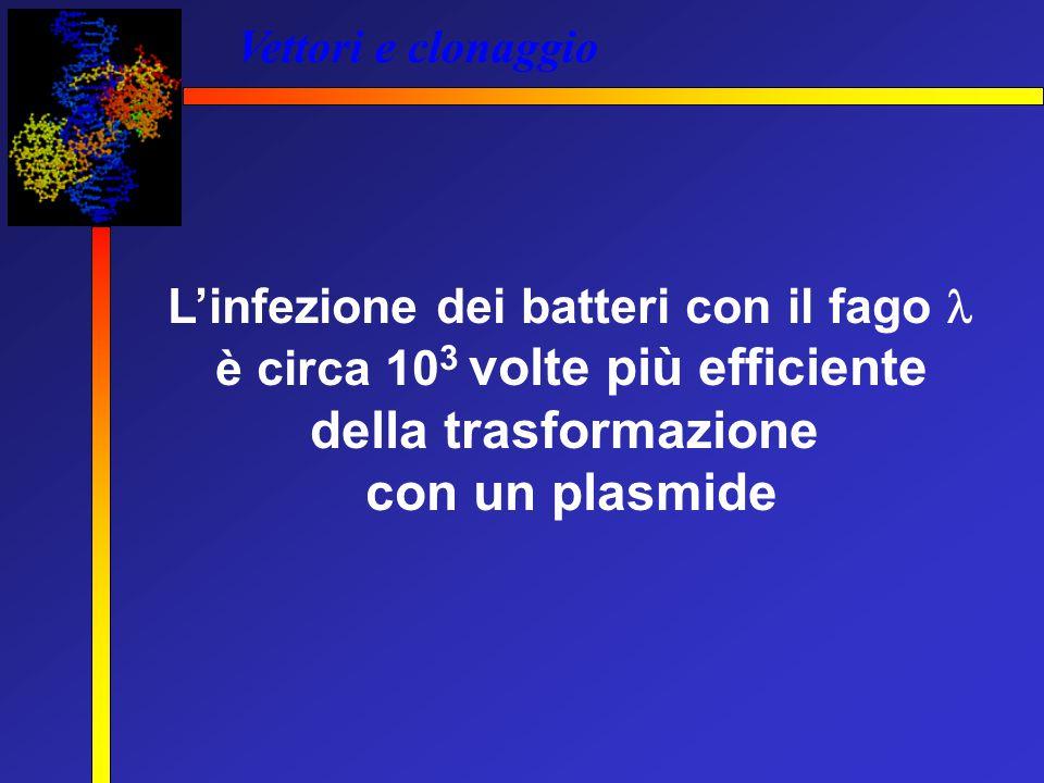 L'infezione dei batteri con il fago  è circa 103 volte più efficiente