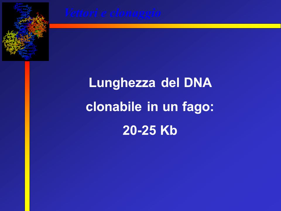 Lunghezza del DNA clonabile in un fago: 20-25 Kb