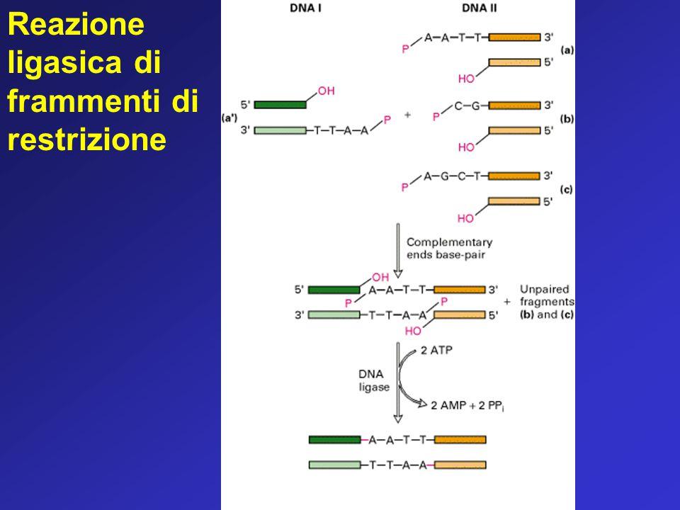 Reazione ligasica di frammenti di restrizione