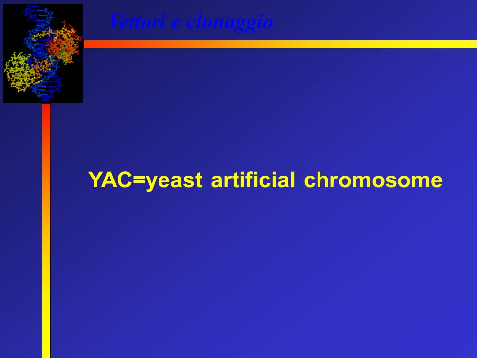 YAC=yeast artificial chromosome