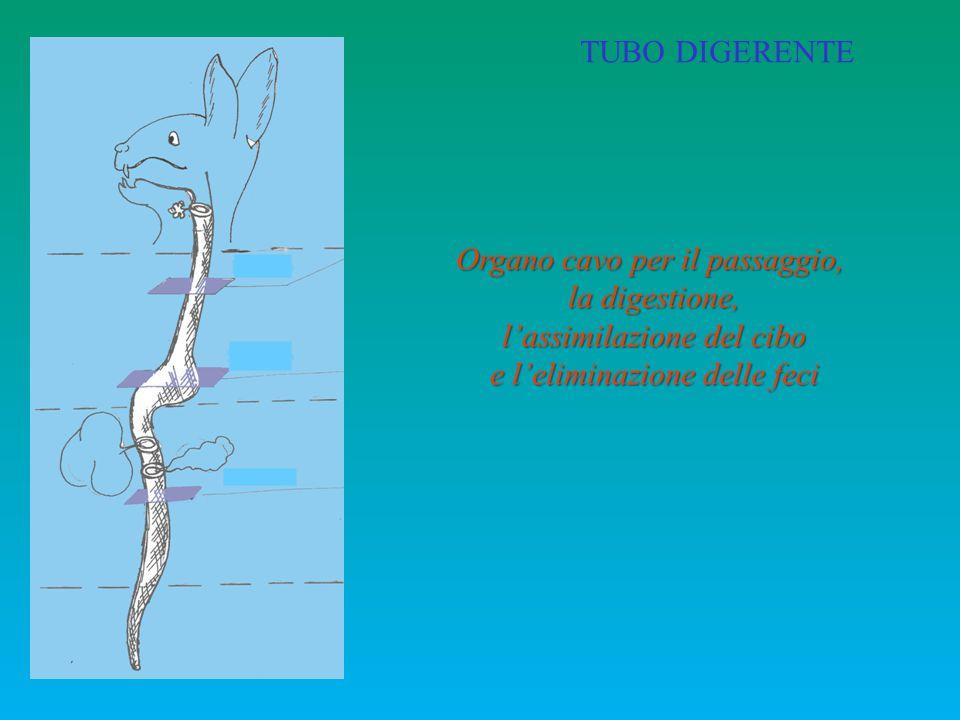 Organo cavo per il passaggio, la digestione, l'assimilazione del cibo