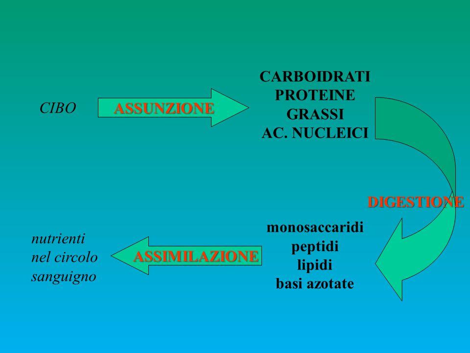 CARBOIDRATI PROTEINE. GRASSI. AC. NUCLEICI. monosaccaridi. peptidi. lipidi. basi azotate. ASSUNZIONE.