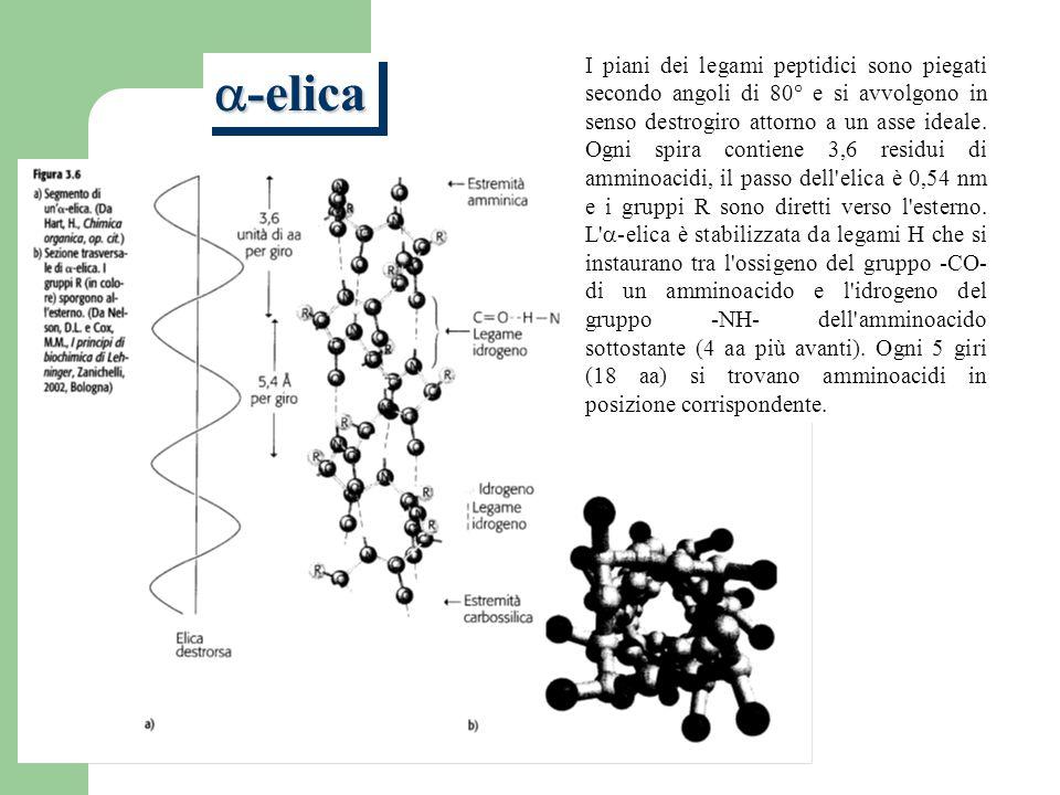 I piani dei legami peptidici sono piegati secondo angoli di 80° e si avvolgono in senso destrogiro attorno a un asse ideale. Ogni spira contiene 3,6 residui di amminoacidi, il passo dell elica è 0,54 nm e i gruppi R sono diretti verso l esterno. L a-elica è stabilizzata da legami H che si instaurano tra l ossigeno del gruppo -CO- di un amminoacido e l idrogeno del gruppo -NH- dell amminoacido sottostante (4 aa più avanti). Ogni 5 giri (18 aa) si trovano amminoacidi in posizione corrispondente.