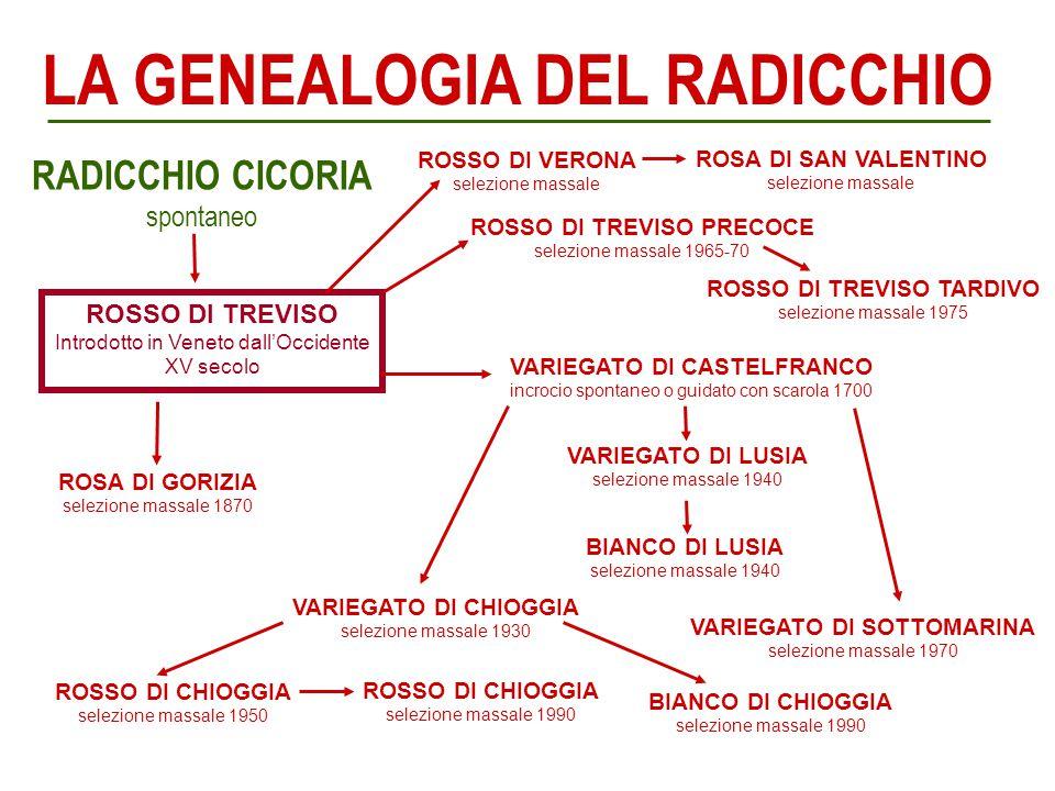 LA GENEALOGIA DEL RADICCHIO