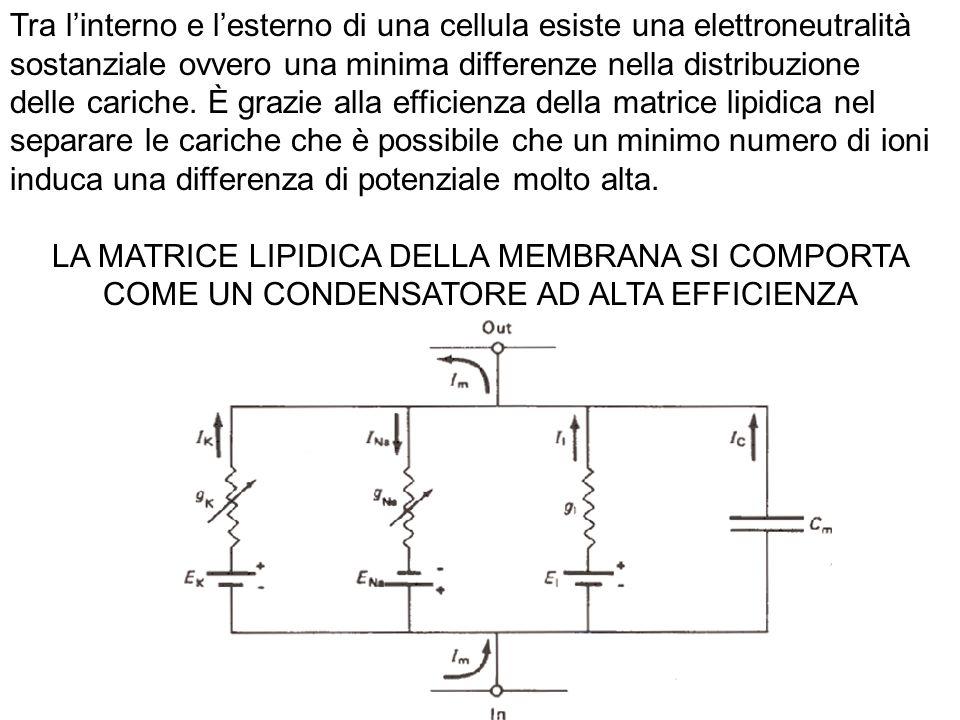 Tra l'interno e l'esterno di una cellula esiste una elettroneutralità