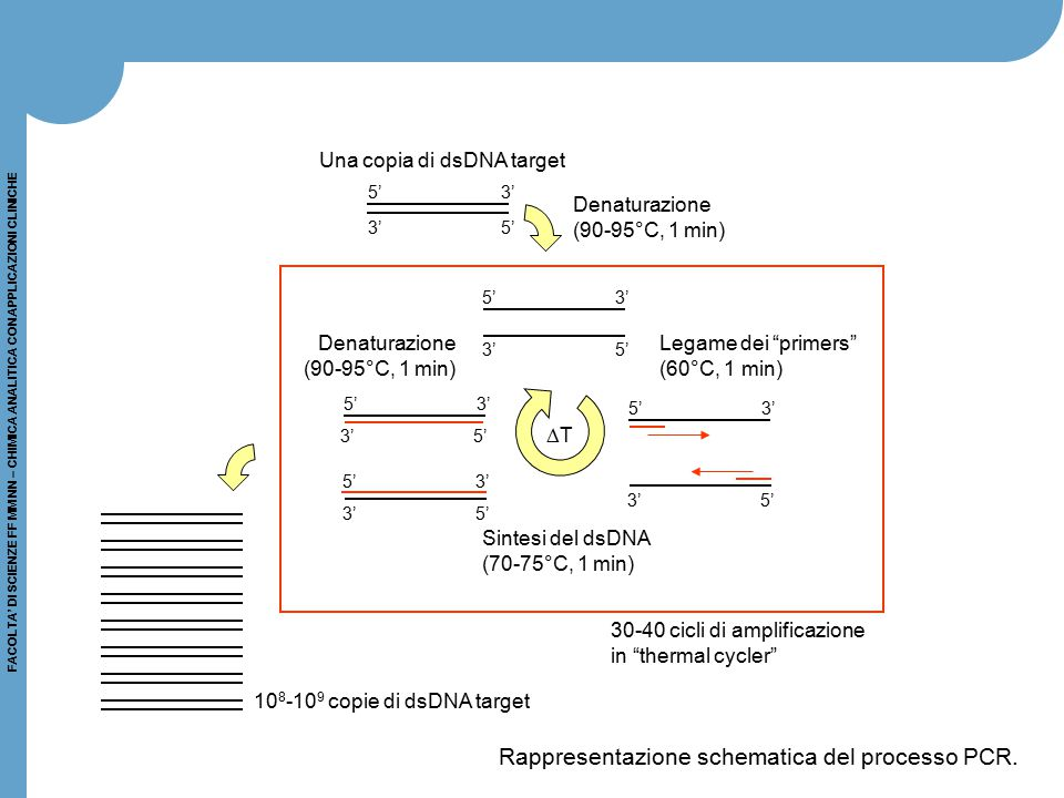 Rappresentazione schematica del processo PCR.
