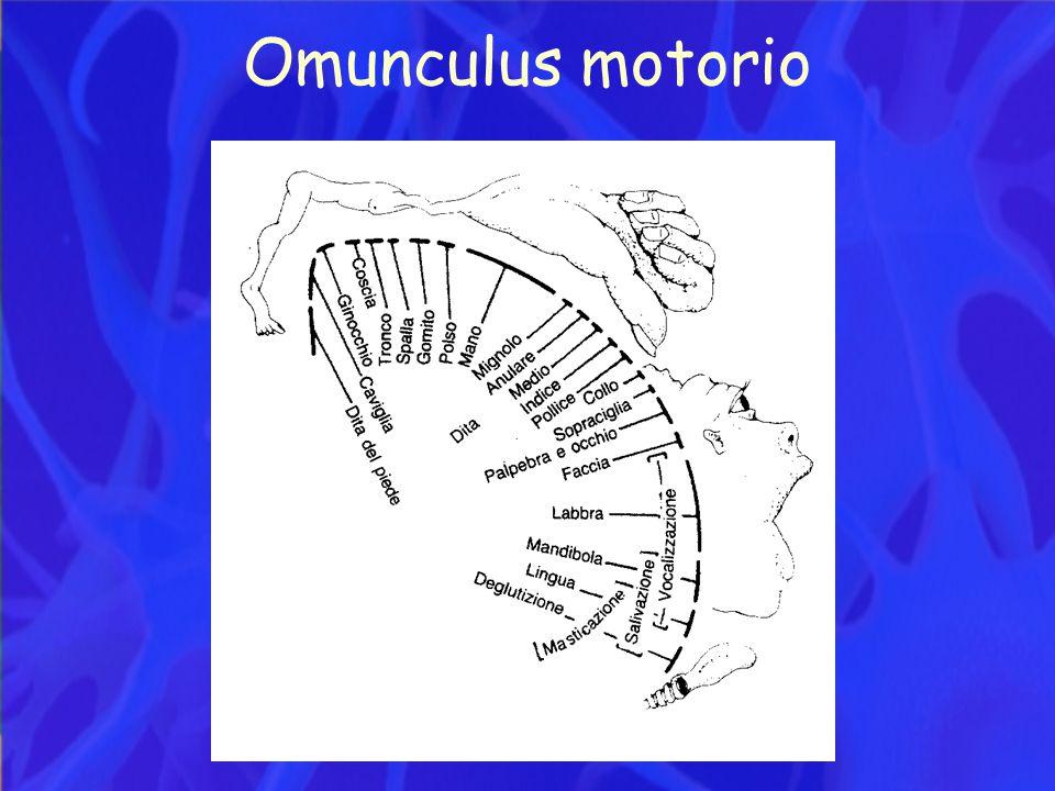Omunculus motorio