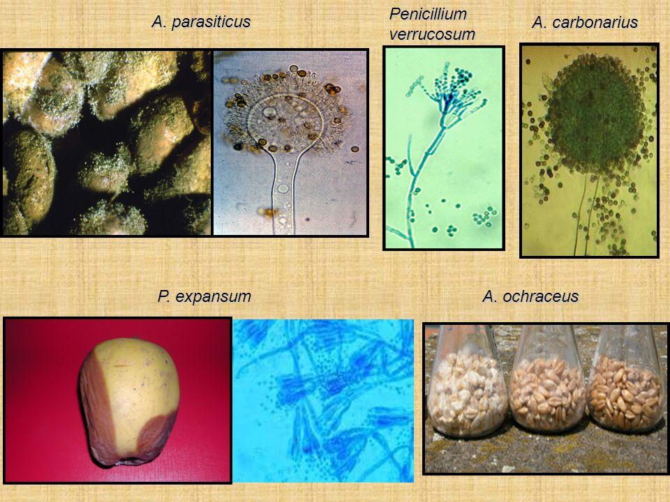 Penicillium verrucosum A. parasiticus A. carbonarius