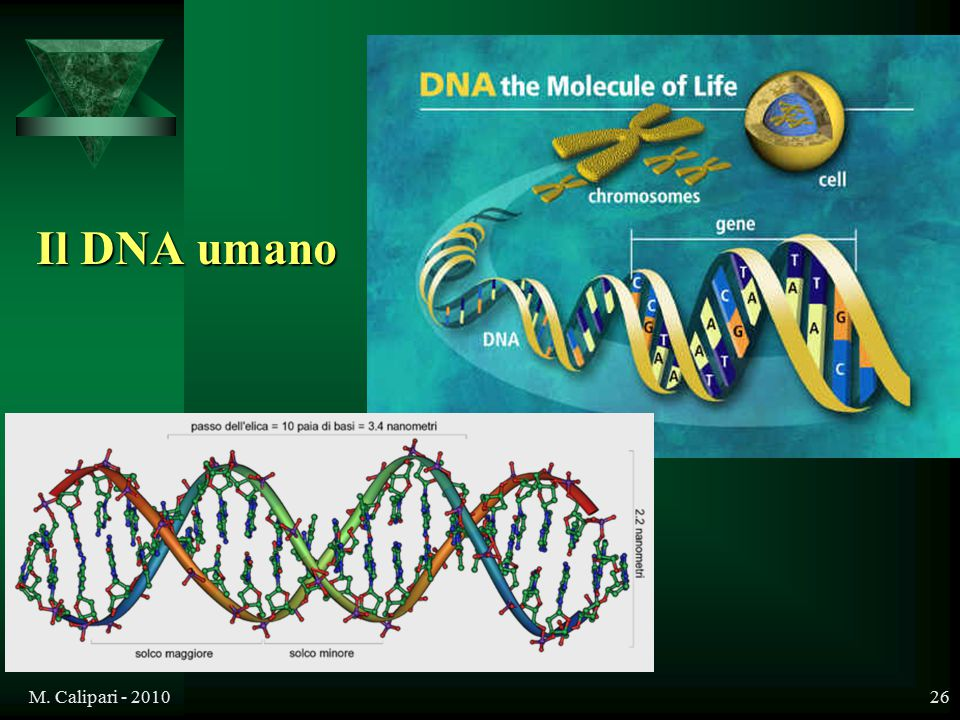 Il DNA umano M. Calipari - 2010