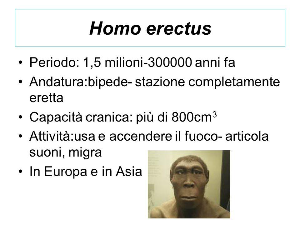 Homo erectus Periodo: 1,5 milioni-300000 anni fa