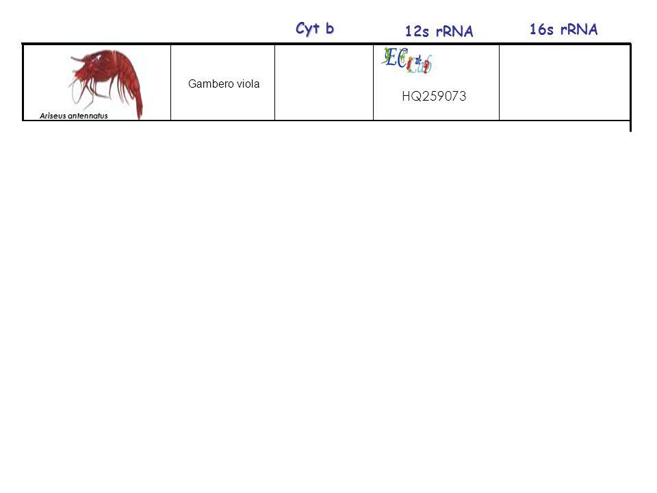 12s rRNA 16s rRNA Cyt b Gambero viola HQ259073 Ariseus antennatus