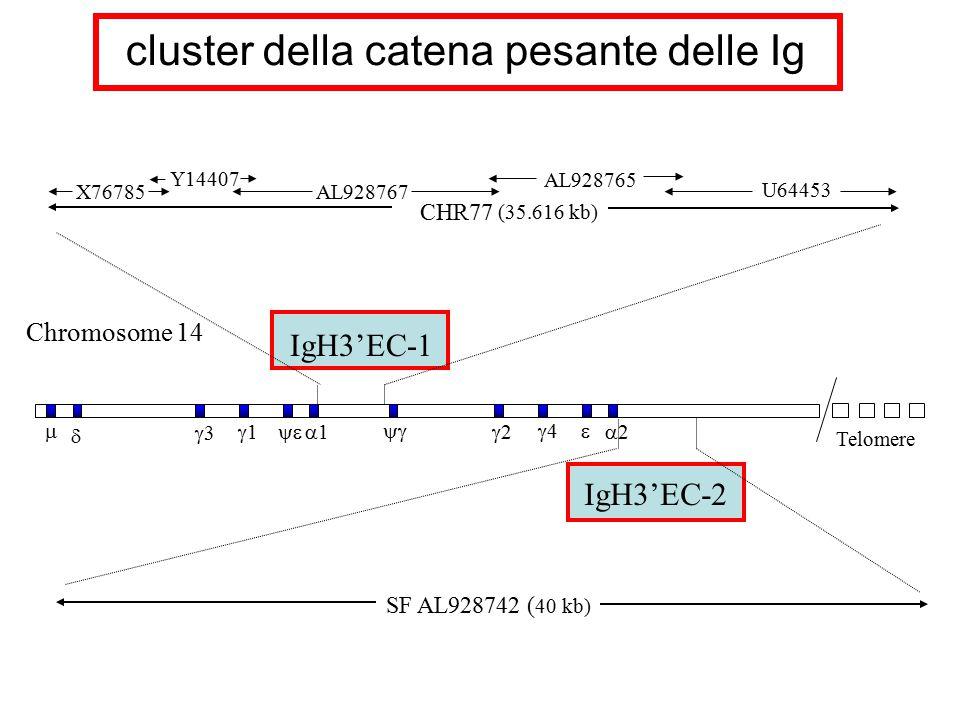 cluster della catena pesante delle Ig