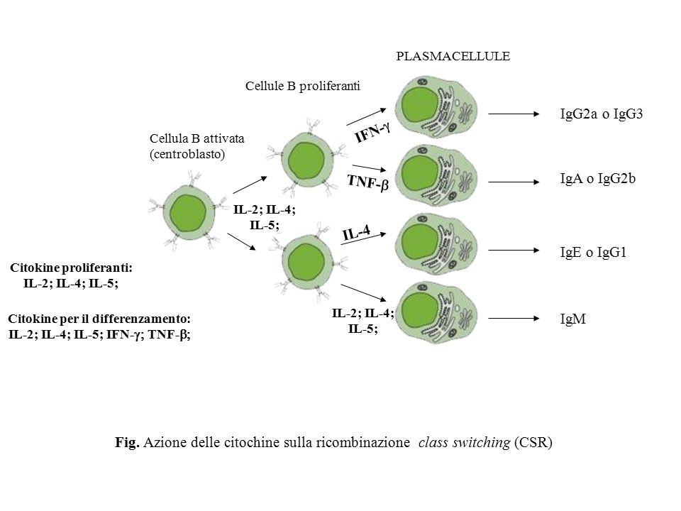 Fig. Azione delle citochine sulla ricombinazione class switching (CSR)