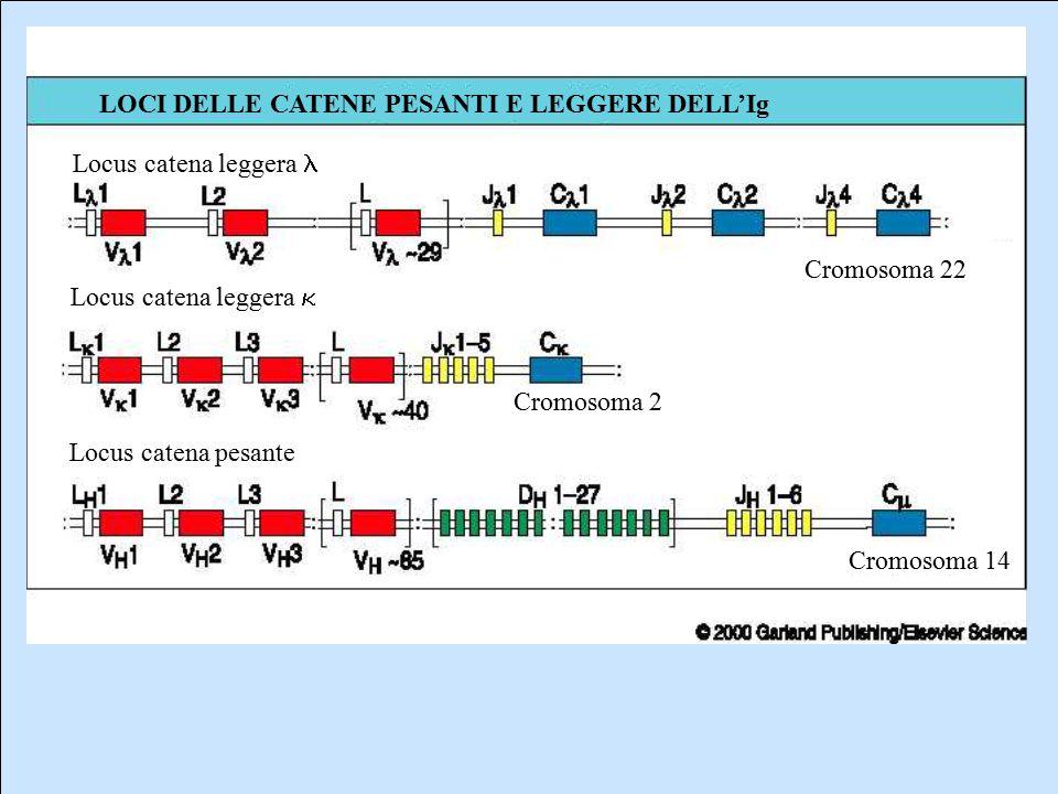 Locus catena leggera l Locus catena leggera k. Locus catena pesante. Cromosoma 22. Cromosoma 2. Cromosoma 14.