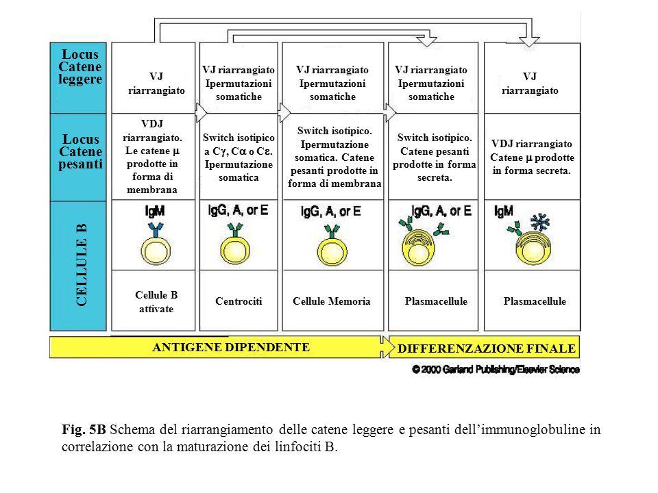 CELLULE B Locus Catene pesanti Locus Catene leggere