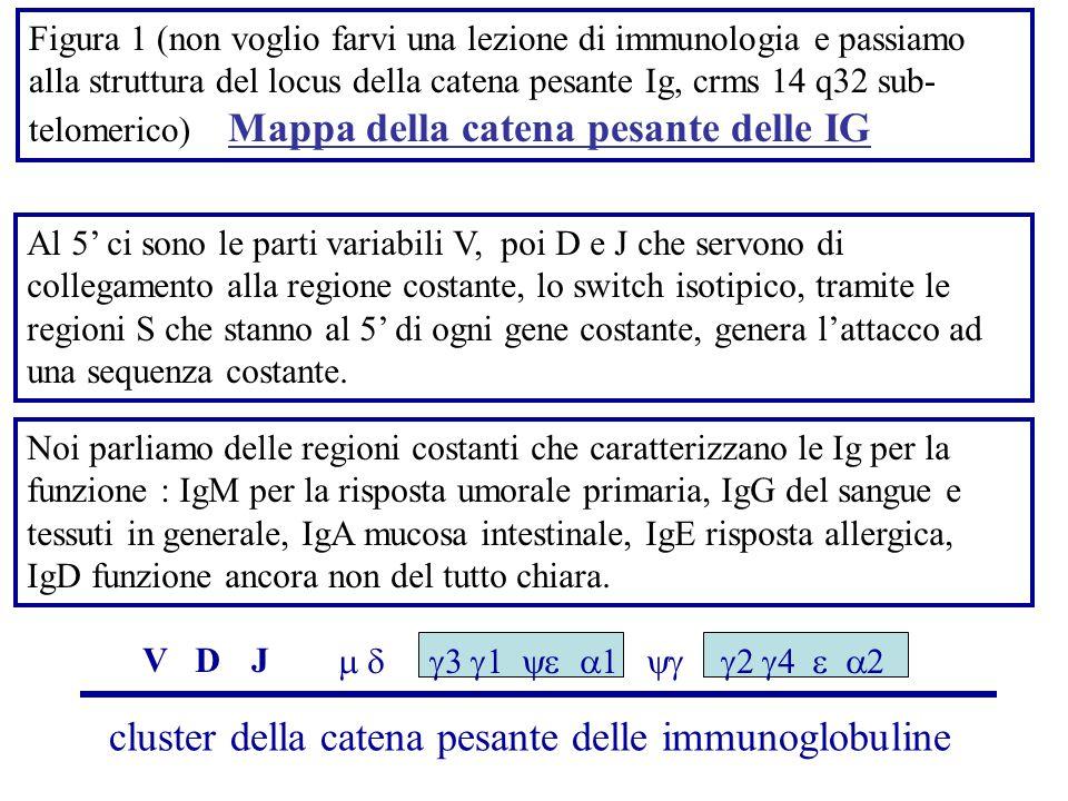 cluster della catena pesante delle immunoglobuline