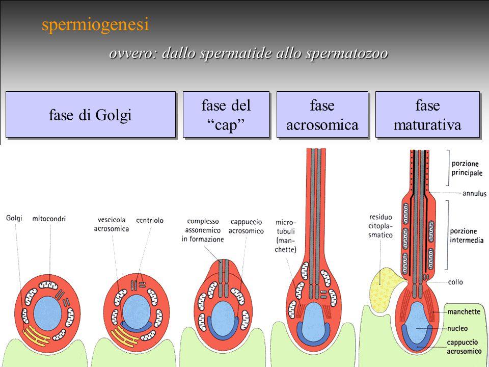 spermiogenesi ovvero: dallo spermatide allo spermatozoo fase di Golgi