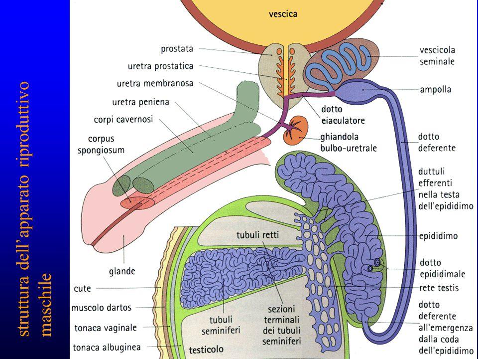 struttura dell'apparato riproduttivo maschile