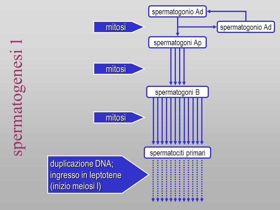 spermatogenesi 1 mitosi mitosi mitosi