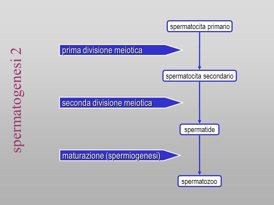 spermatogenesi 2 prima divisione meiotica seconda divisione meiotica