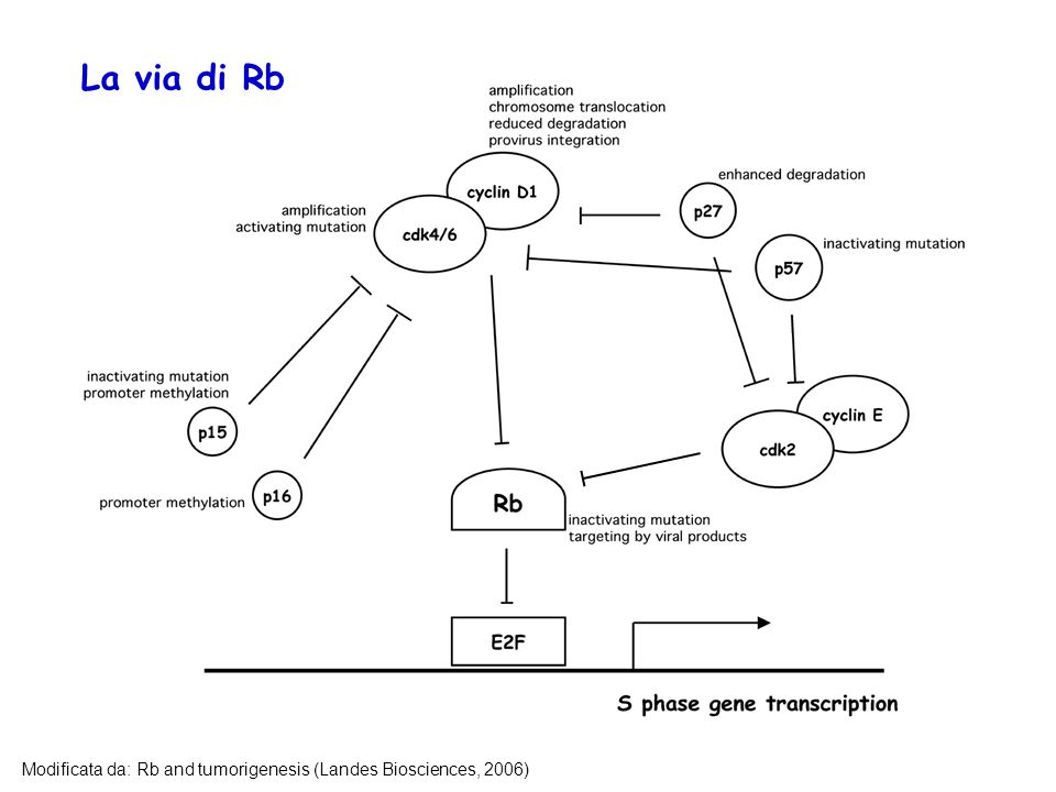 La via di Rb Modificata da: Rb and tumorigenesis (Landes Biosciences, 2006)