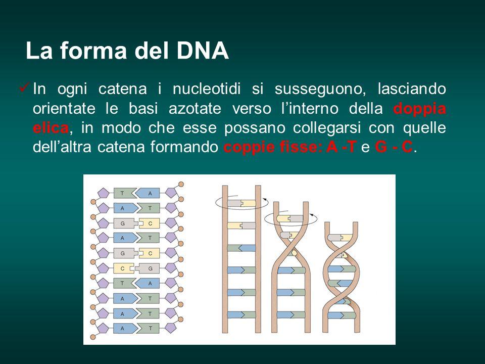La forma del DNA