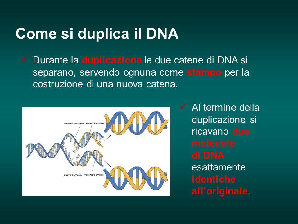 Come si duplica il DNA Durante la duplicazione le due catene di DNA si separano, servendo ognuna come stampo per la costruzione di una nuova catena.