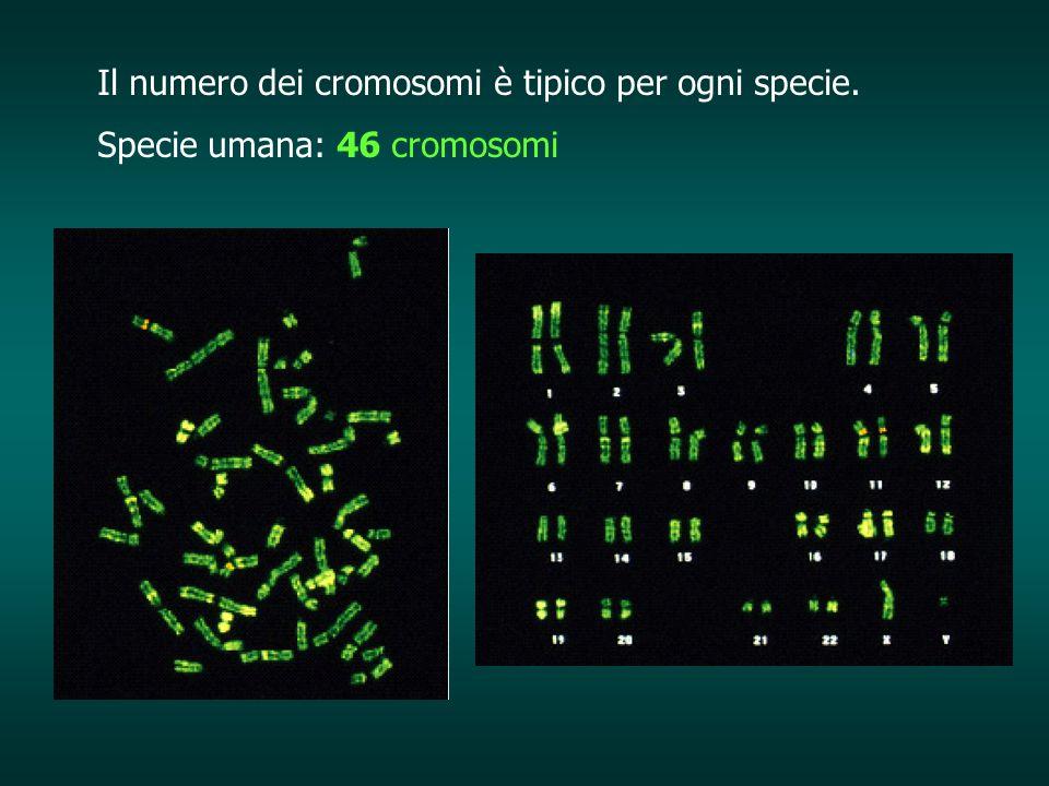 Il numero dei cromosomi è tipico per ogni specie.