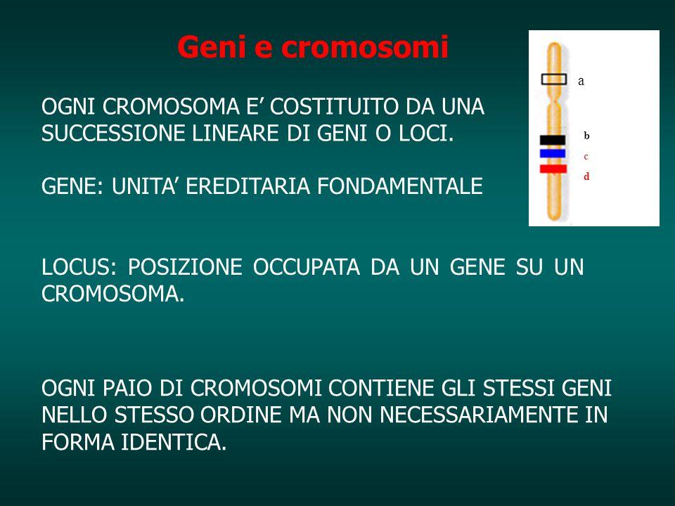 Geni e cromosomi a. OGNI CROMOSOMA E' COSTITUITO DA UNA SUCCESSIONE LINEARE DI GENI O LOCI. b. c.
