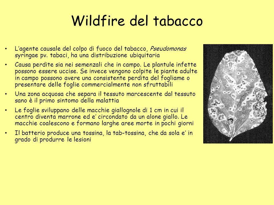 Wildfire del tabacco L'agente causale del colpo di fuoco del tabacco, Pseudomonas syringae pv. tabaci, ha una distribuzione ubiquitaria.