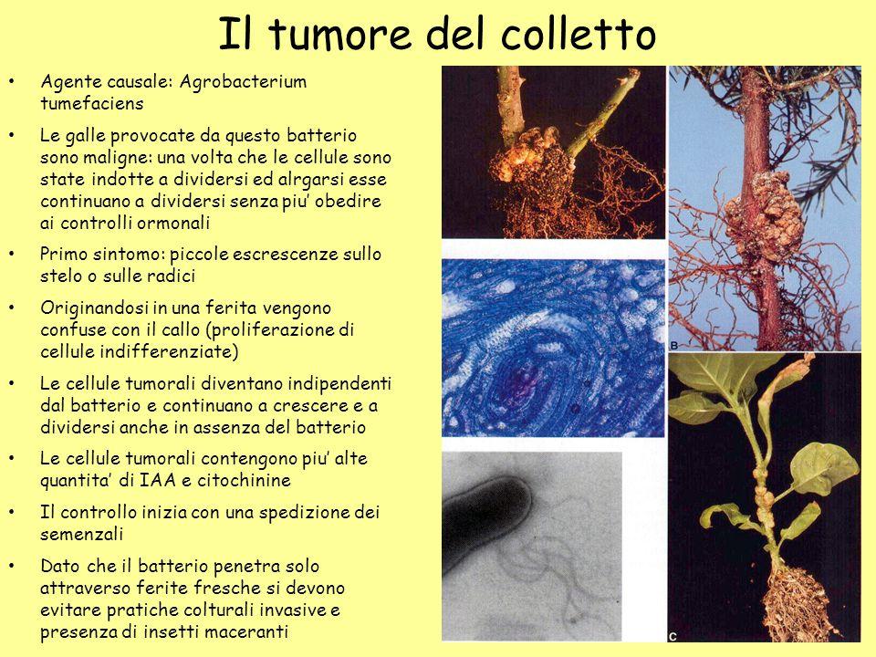 Il tumore del colletto Agente causale: Agrobacterium tumefaciens