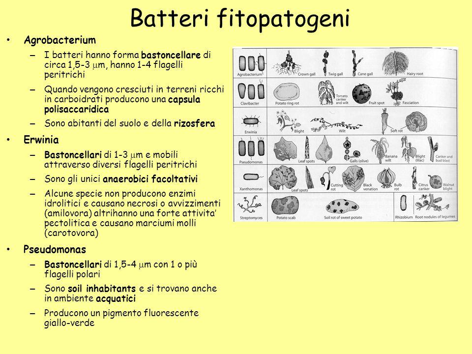 Batteri fitopatogeni Agrobacterium Erwinia Pseudomonas