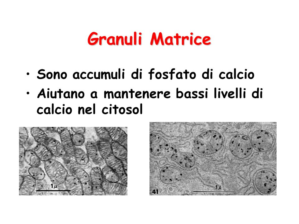 Granuli Matrice Sono accumuli di fosfato di calcio