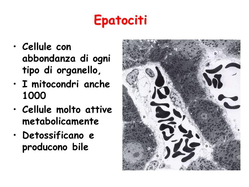 Epatociti Cellule con abbondanza di ogni tipo di organello,