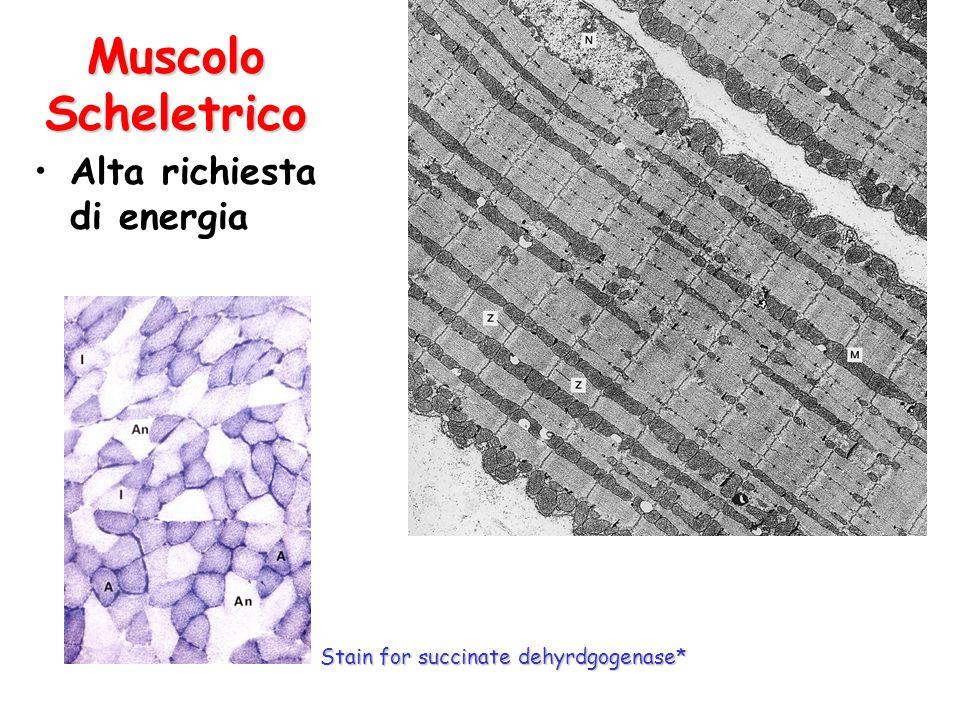 Muscolo Scheletrico Alta richiesta di energia