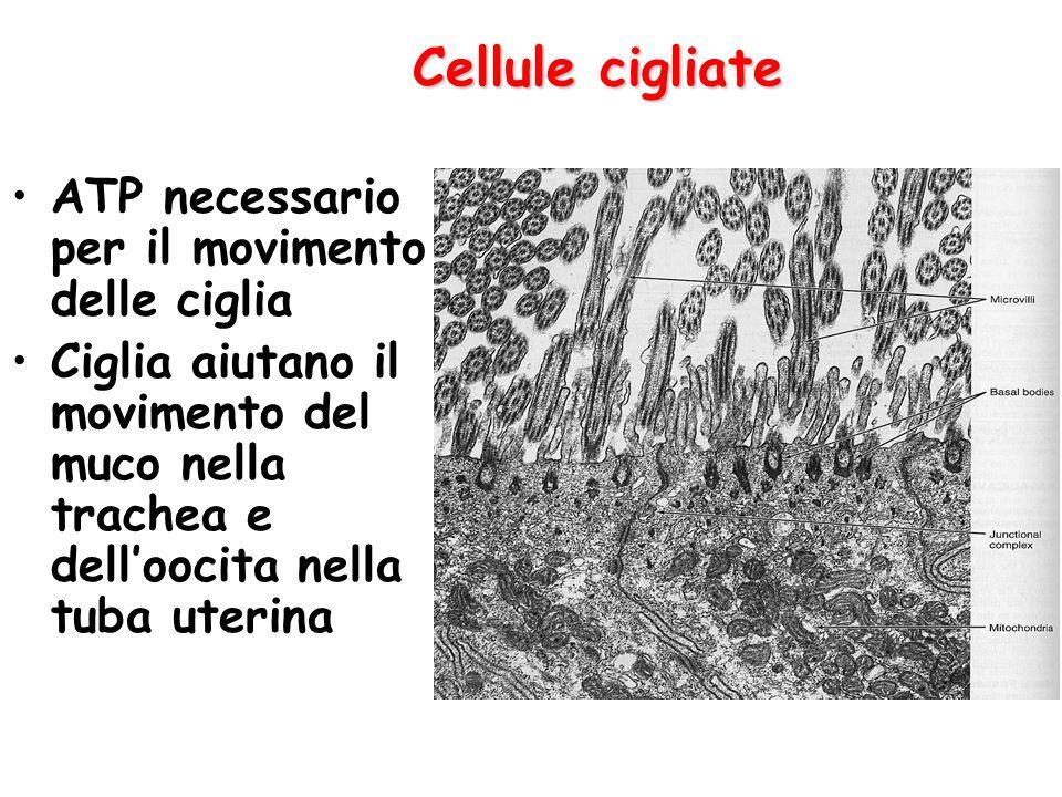 Cellule cigliate ATP necessario per il movimento delle ciglia