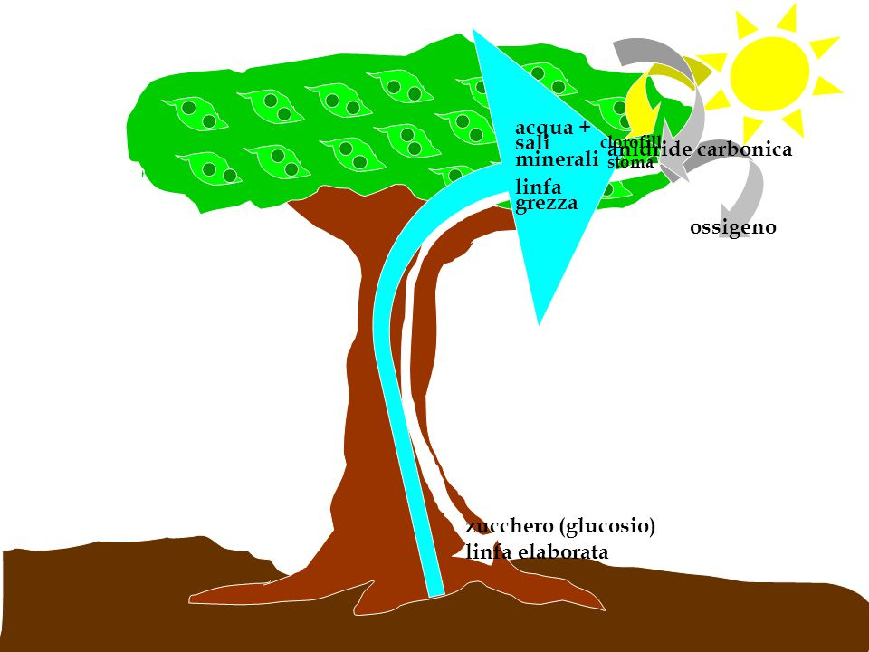 acqua + sali minerali anidride carbonica linfa grezza ossigeno