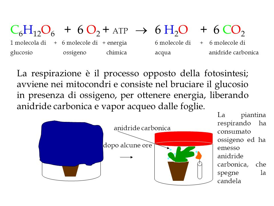 C6H12O6 + 6 O2 + ATP  1 molecola di + 6 molecole di + energia. glucosio ossigeno chimica.
