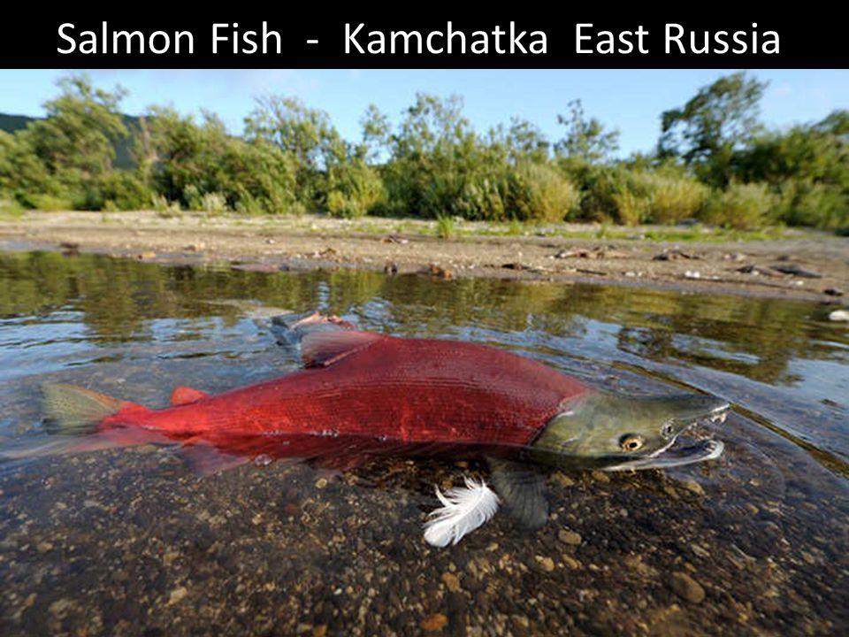 Salmon Fish - Kamchatka East Russia