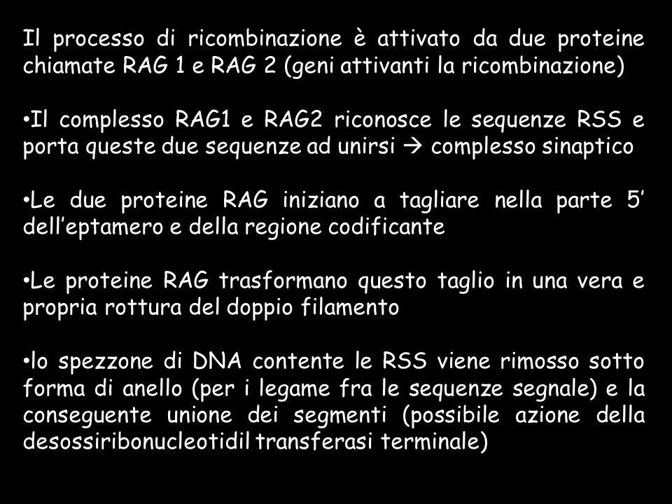 Il processo di ricombinazione è attivato da due proteine chiamate RAG 1 e RAG 2 (geni attivanti la ricombinazione)