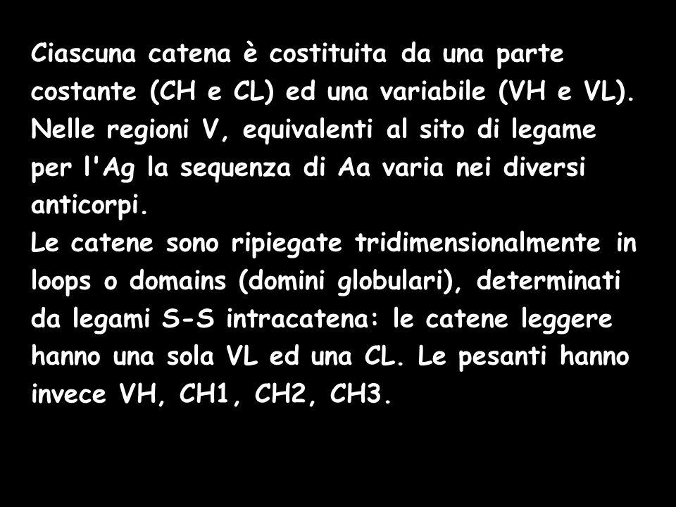 Ciascuna catena è costituita da una parte costante (CH e CL) ed una variabile (VH e VL). Nelle regioni V, equivalenti al sito di legame per l Ag la sequenza di Aa varia nei diversi anticorpi.